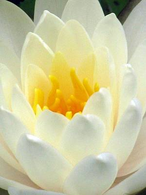 Poster featuring the photograph The Water Lilies Collection - 10 by Pamela Critchlow