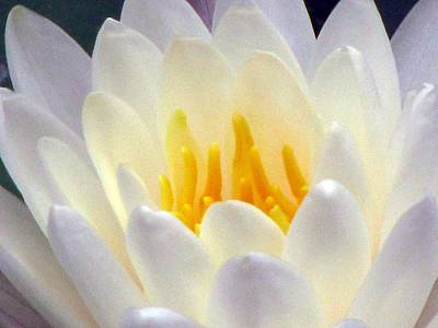 Poster featuring the photograph The Water Lilies Collection - 11 by Pamela Critchlow
