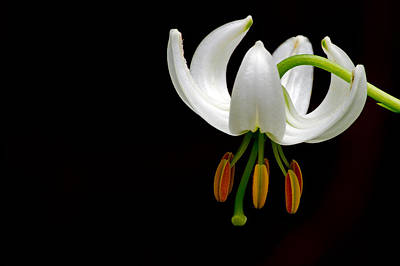 The White Form Of Lilium Martagon Named Album Poster by Torbjorn Swenelius