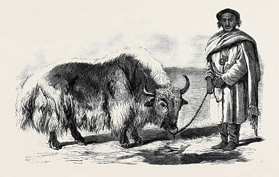 The Yak Or Thibet Ox From A Drawing By W Poster