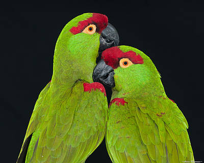 Poster featuring the photograph Thick-billed Parrot Pair by Avian Resources