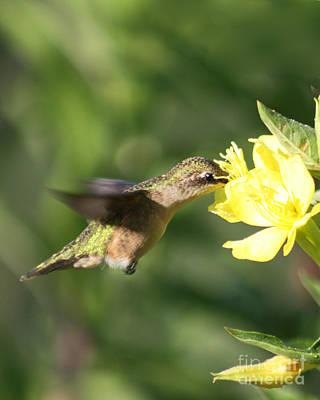 Poster featuring the photograph Thirsty Little Hummingbird by Anita Oakley