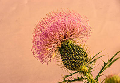 Thistle Blossom 4 Poster