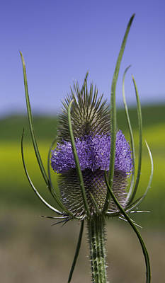 Thistle Poster by Latah Trail Foundation