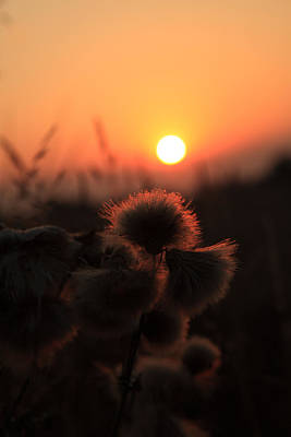 Thistles At Sunset Poster by Paul Lilley