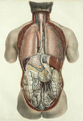 Thorax And Abdomen Poster