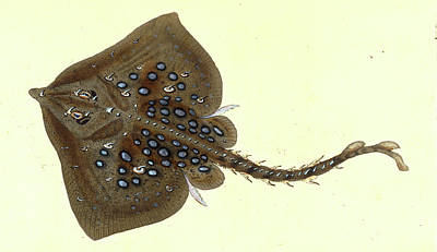 Thornback, Raia Clavata, British Fishes, Donovan Poster by Artokoloro