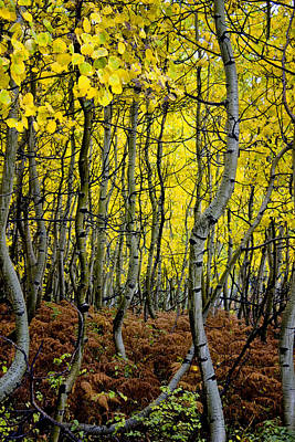 Poster featuring the photograph Through The Aspen Forest by Ellen Heaverlo