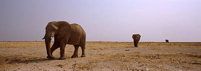 Three African Elephants Loxodonta Poster by Panoramic Images