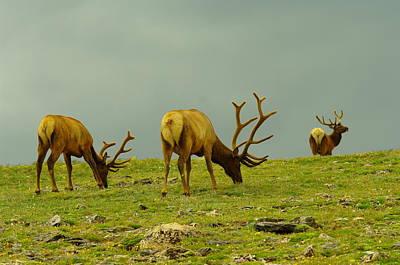 Three Bull Elk Grazing Poster by Jeff Swan