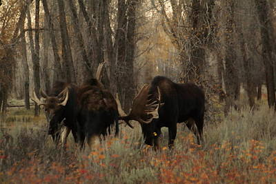 Three Bull Moose Sparring Poster by Jeff Swan