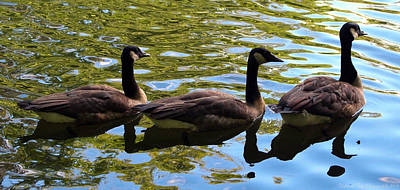 Poster featuring the photograph Three Canadian Geese by Deborah Fay