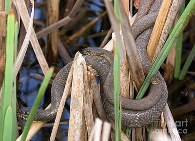 Three Cuddling Snakes Poster
