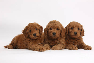 Three Cute Red F1b Goldendoodle Puppies Poster