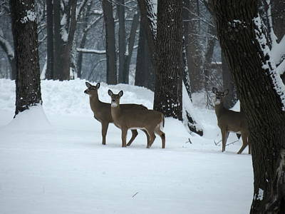 Three Deer In Park Poster