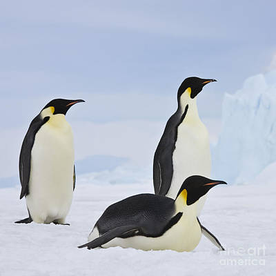 Three Emperor Penguins Poster