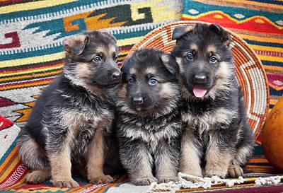 Three German Shepherd Puppies Sitting Poster by Zandria Muench Beraldo