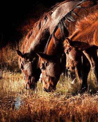 Three Horses Drinking In Dusky Light Poster by Sheila Haddad