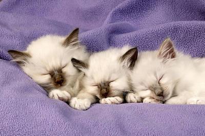 Three Kittens Sleeping Poster by Greg Cuddiford