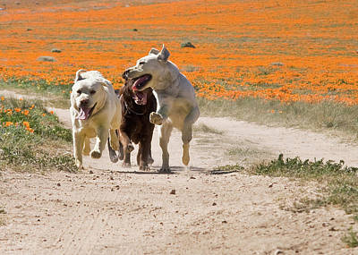 Three Labrador Retrievers Running Poster
