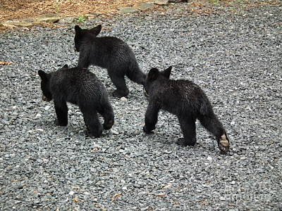 Poster featuring the photograph Three Little Bears In Step by Jan Dappen