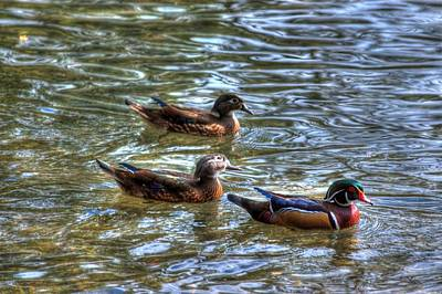 Three Mallard Ducks Poster