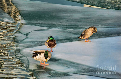 Three Mallards On Partly Frozen Lake Poster