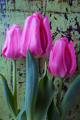 Three Pink Tulips Poster by Garry Gay