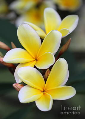 Three Pretty Plumeria Flowers Poster