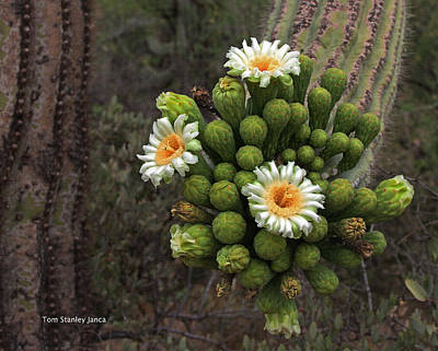 Three Saguaro Blossoms And Many Buds Poster by Tom Janca