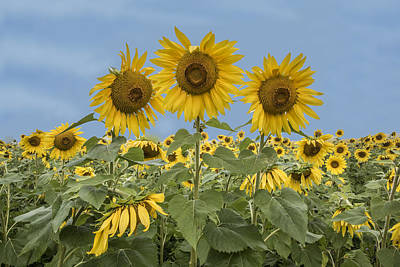 Three Sunflowers At The Front Of A Sunflower Field Poster