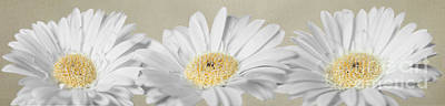 Three White Daisies Poster