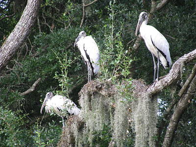 Three Wood Storks Poster