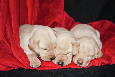 Three Yellow Labrador Retriever Puppies Poster by Zandria Muench Beraldo
