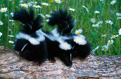 Three Young Skunks On Log In Wildflower Poster by Panoramic Images