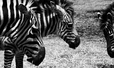 Poster featuring the photograph Three Zebras by Tom Brickhouse