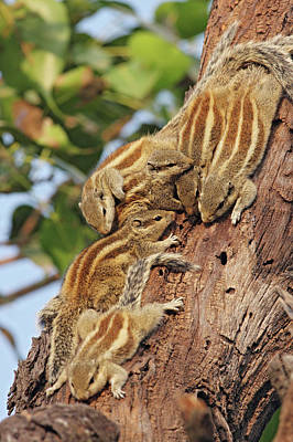 Threestriped Palm Squirrels Cuddled Poster by Jagdeep Rajput