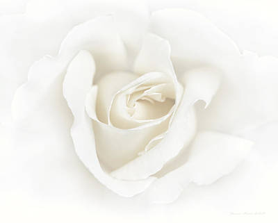 Misty Ivory White Rose Flower Poster