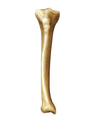 Tibia Poster by Asklepios Medical Atlas