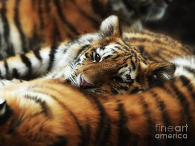 Tiger Cub Resting On Mom's Back Poster