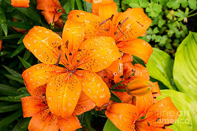Tiger Lily After Morning Rain Poster