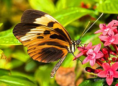 Tiger Mimic Butterfly Poster by Millard H. Sharp