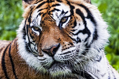 Tiger On Grass Poster