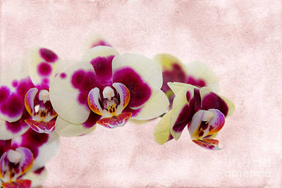 Tiger Orchid Poster by Svetlana Sewell