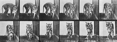 Tiger Pacing Poster by Eadweard Muybridge