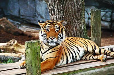 Tiger Portrait Poster by Aimee L Maher Photography and Art Visit ALMGallerydotcom