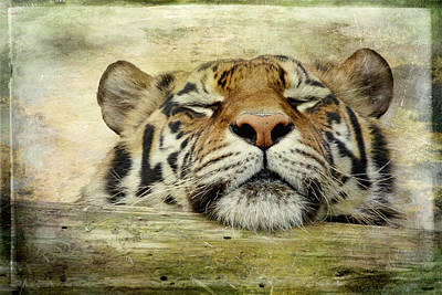 Tiger Snooze Poster by Athena Mckinzie