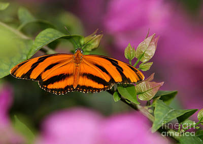Tiger Stripe Butterfly Poster