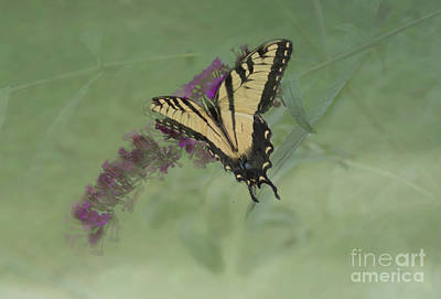 Tiger Swallow Tail Butterfly And Friend Poster