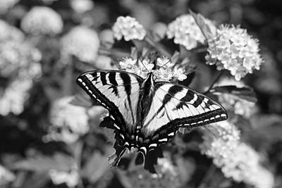 Tiger Swallowtail Butterfly Black And White Poster